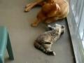 O gato e o Pit Bull
